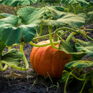 is it too late to plant pumpkin seeds in august