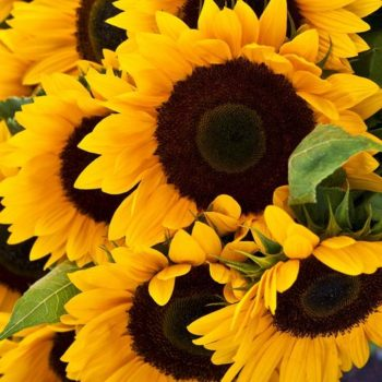 Tips for Planting Sunflower Seeds
