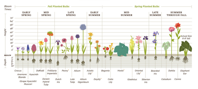 Flower Bulb Planting Instructions   Eden BrothersEden Brothers