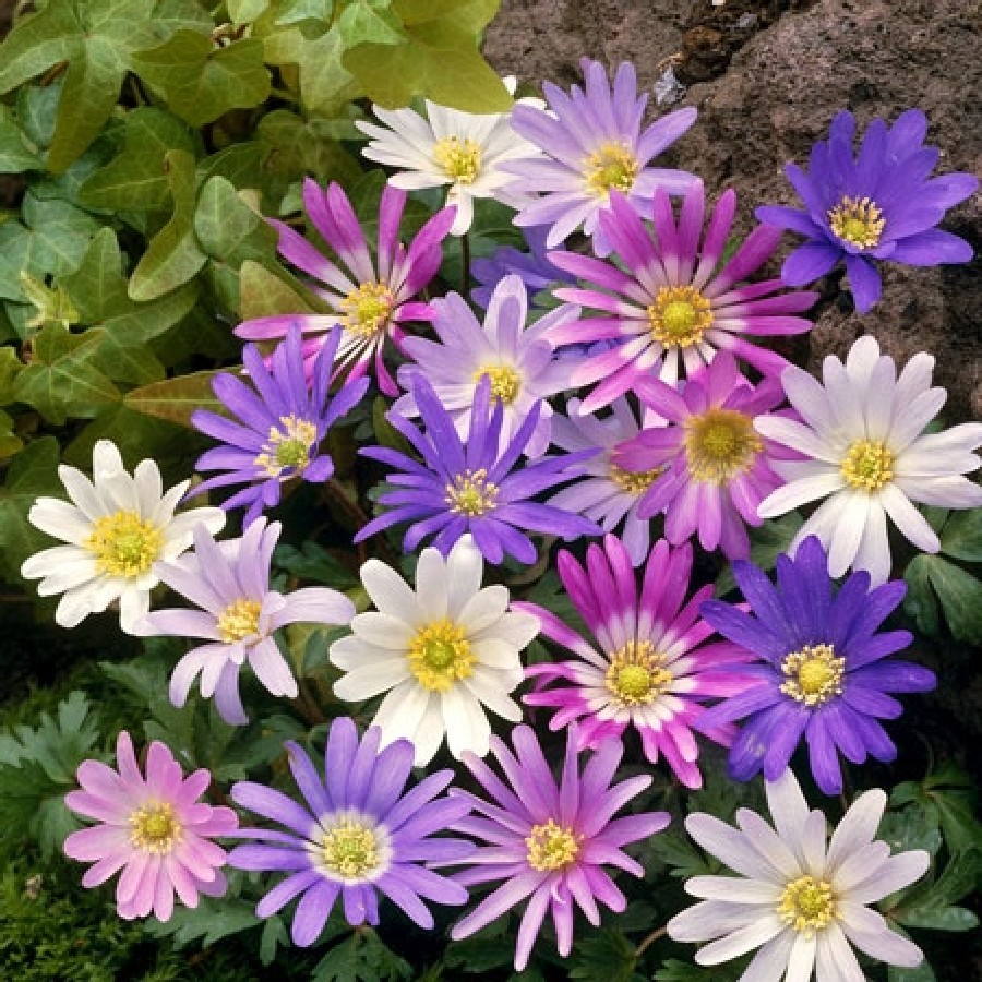 Anemone Bulbs - Blanda Mix