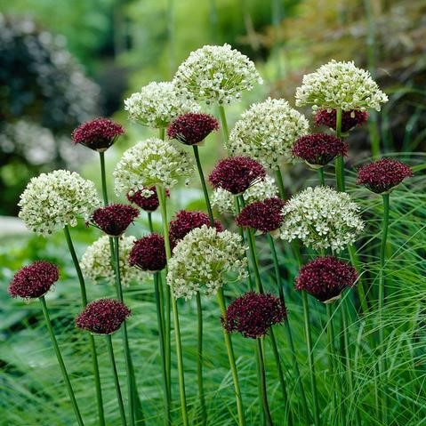 Allium Bulbs - Black & White Mix
