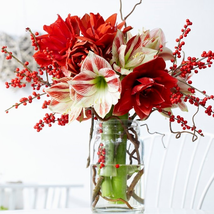 Amaryllis Bulbs - Red & White Collection