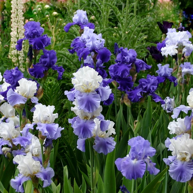 Re-Blooming Bearded Iris - Blue Mix