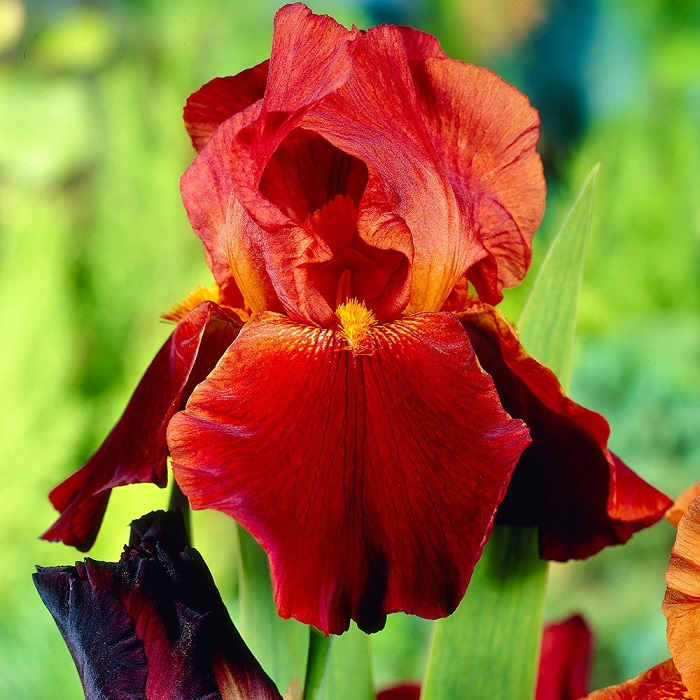 Bearded Iris - Sultans Palace