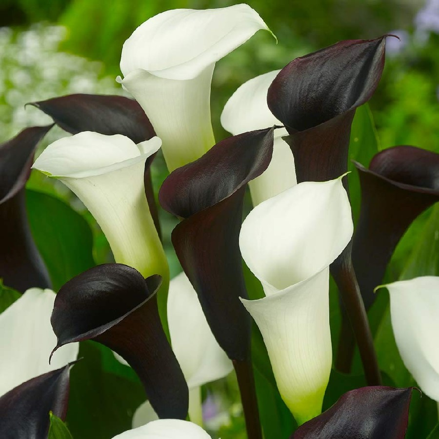Calla lily bulbs for sale buy flower bulbs in bulk save calla lily bulbs black white mix pre sale now ships spring 2019 izmirmasajfo