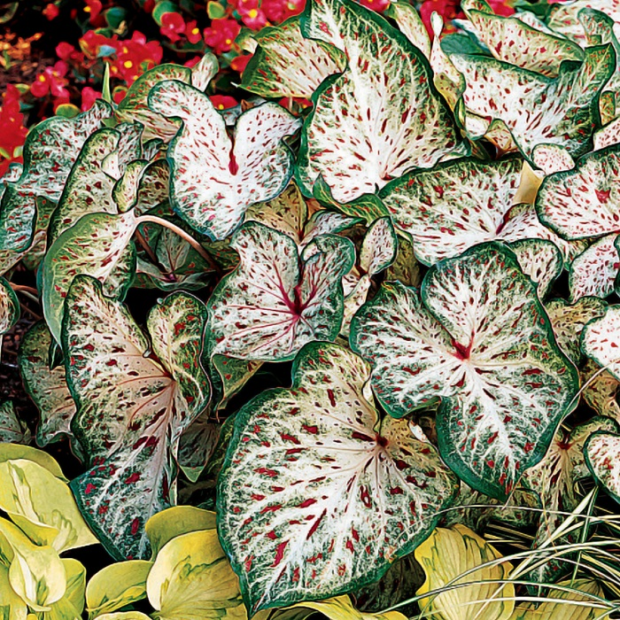 Caladium Bulbs (Dwarf) - Gingerland