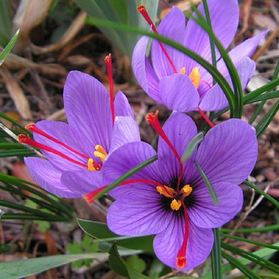 how to grow saffron crocus