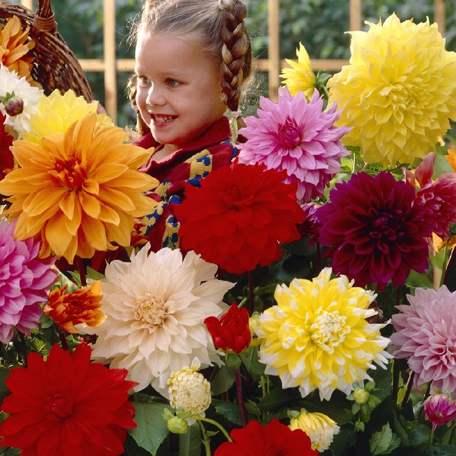 Dahlia Tubers For Sale Buy Flower Bulbs In Bulk Save