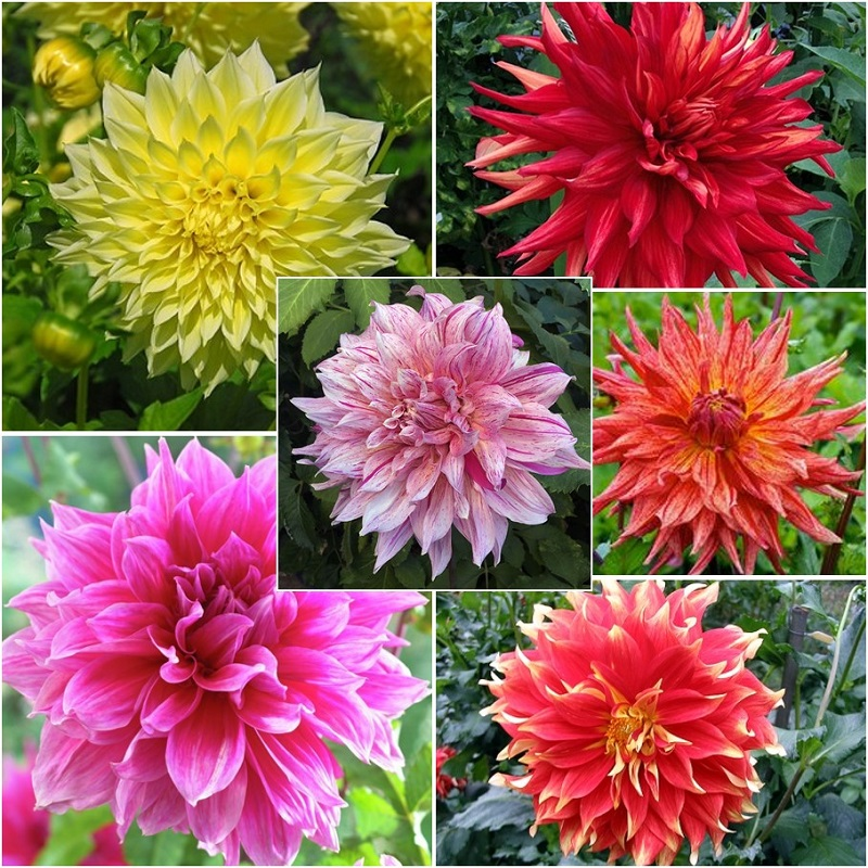Dahlia Tubers - AA Giant Bloom Mix
