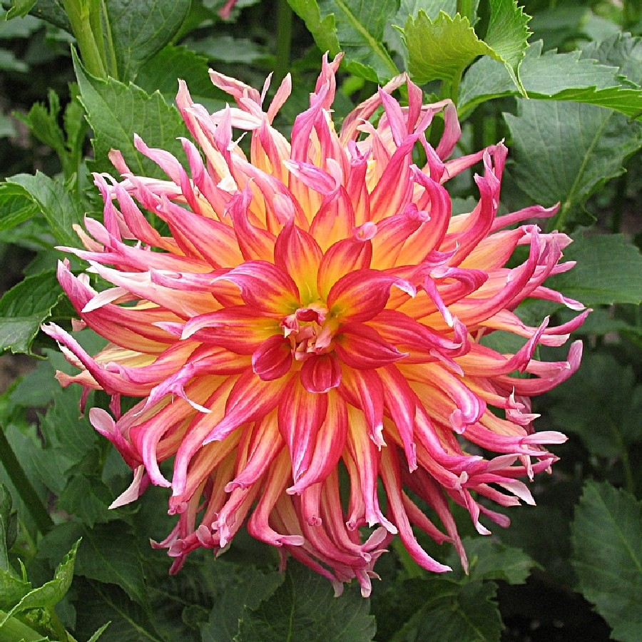 How to Store Dahlia Bulbs recommend