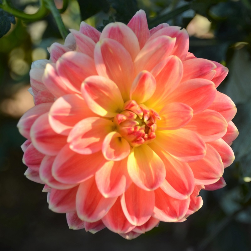 Dahlia Bulbs (Decorative) - October Sky