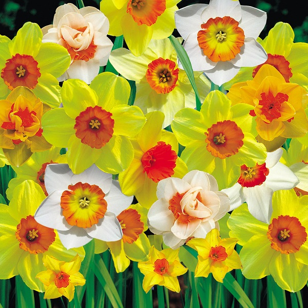 Daffodil Bulbs - Red Cup Mix