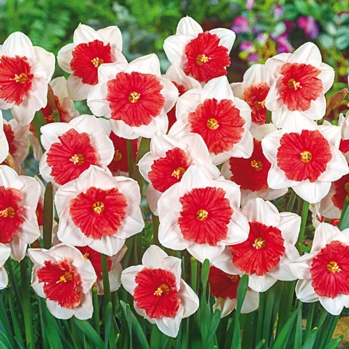 Daffodil Bulbs (Large Cupped) - Riot
