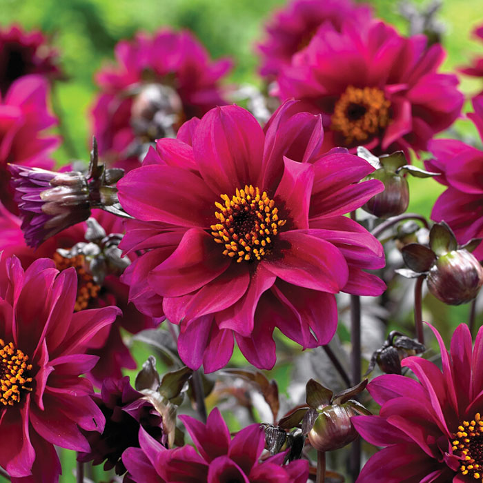 Dahlia Bulbs (Peony-Flowered) - Bishop of Canterbury