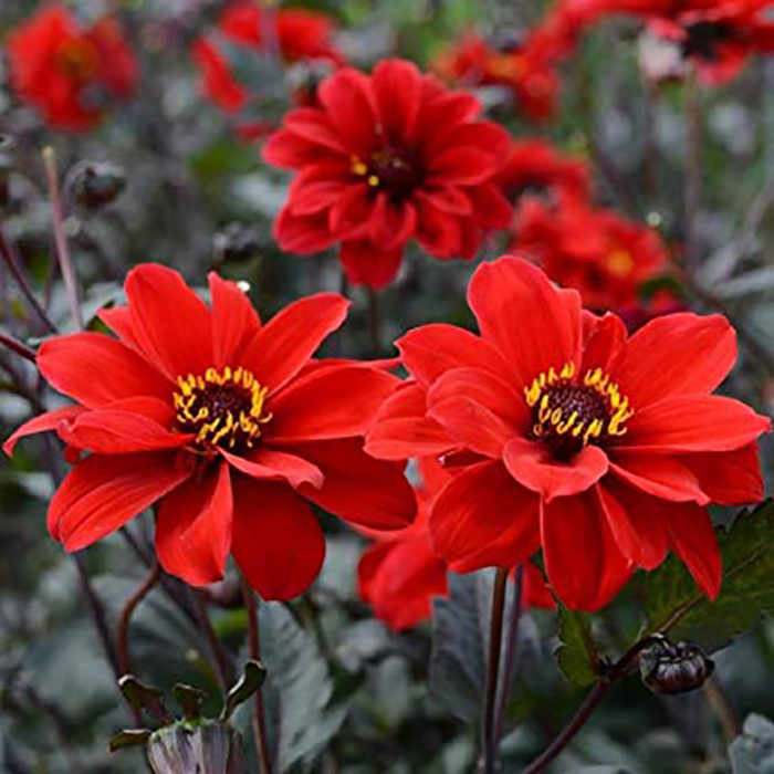 Dahlia Bulbs (Peony-Flowered) - Bishop of Llandaff