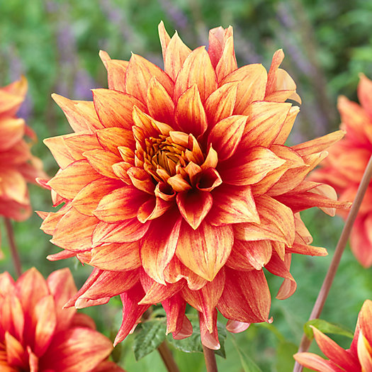 Dahlia Tubers (Dinnerplate) - Dazzling Magic