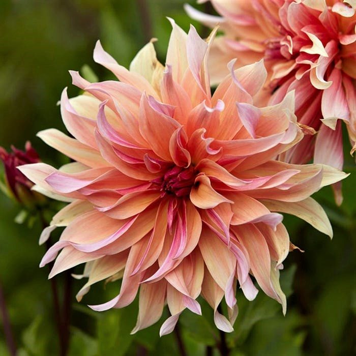 Dahlia Tubers Decorative Labyrinth