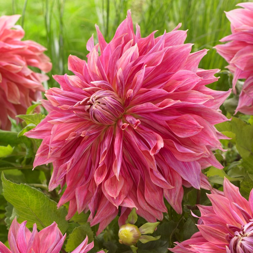 Dahlia Tubers (Dinnerplate) - Penhill Dark Monarch