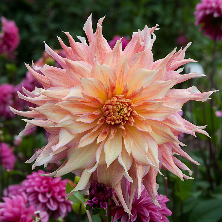 Dahlia Tubers (Dinnerplate) - Penhill Watermelon