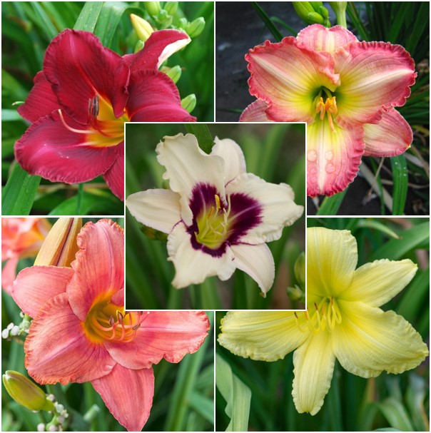 Daylily Roots - Fragrant Rebloomer Mix