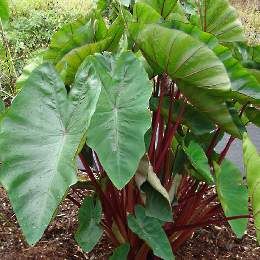 Elephant Ear Bulbs - Hawaiian Punch