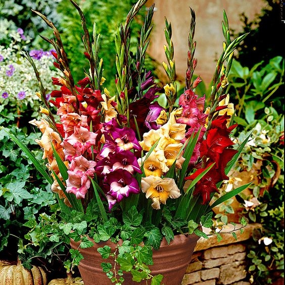 Gladiolus Flower Bulbs - Glamini - Dwarf Mix