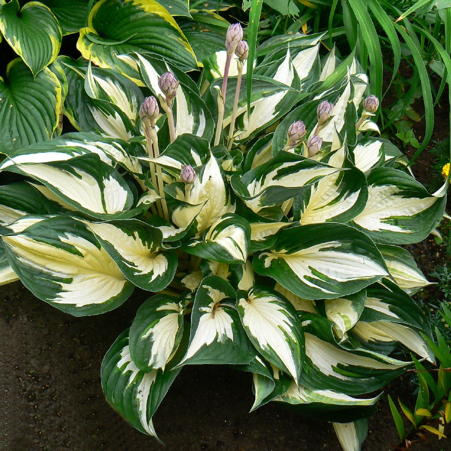 Hosta Roots - Fire & Ice