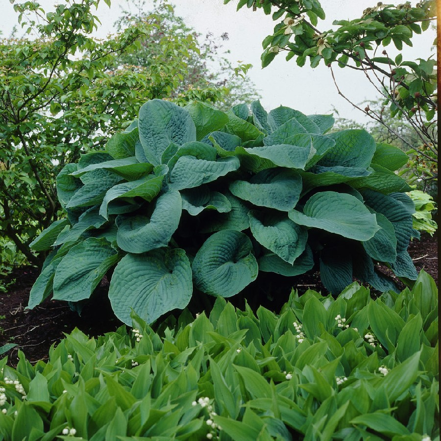 Hosta Roots (Fall-Planted) - Big Daddy