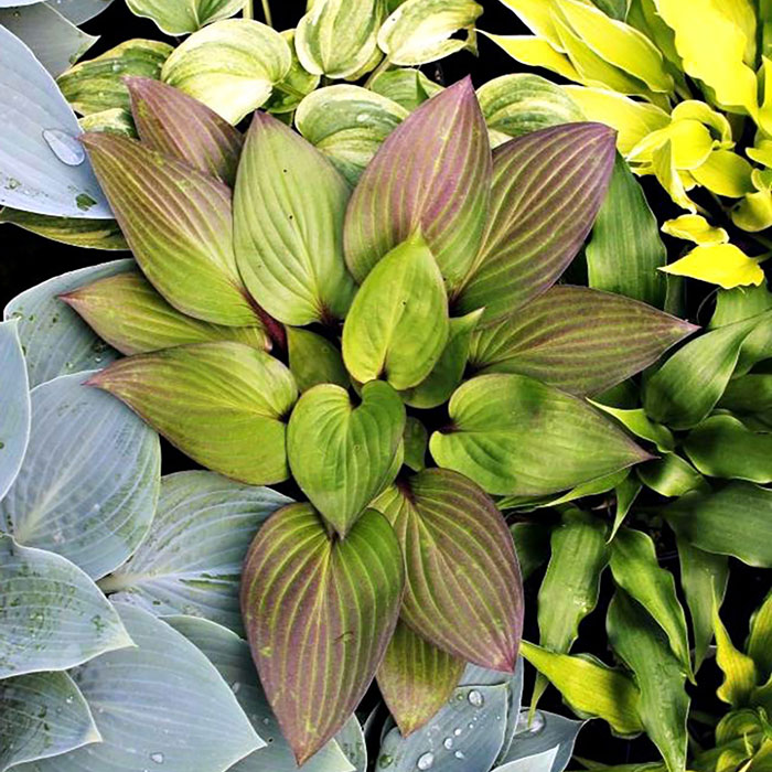 Hosta-First-Blush