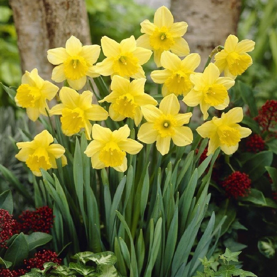 Daffodil Bulbs Large Cupped Quot Carlton Quot