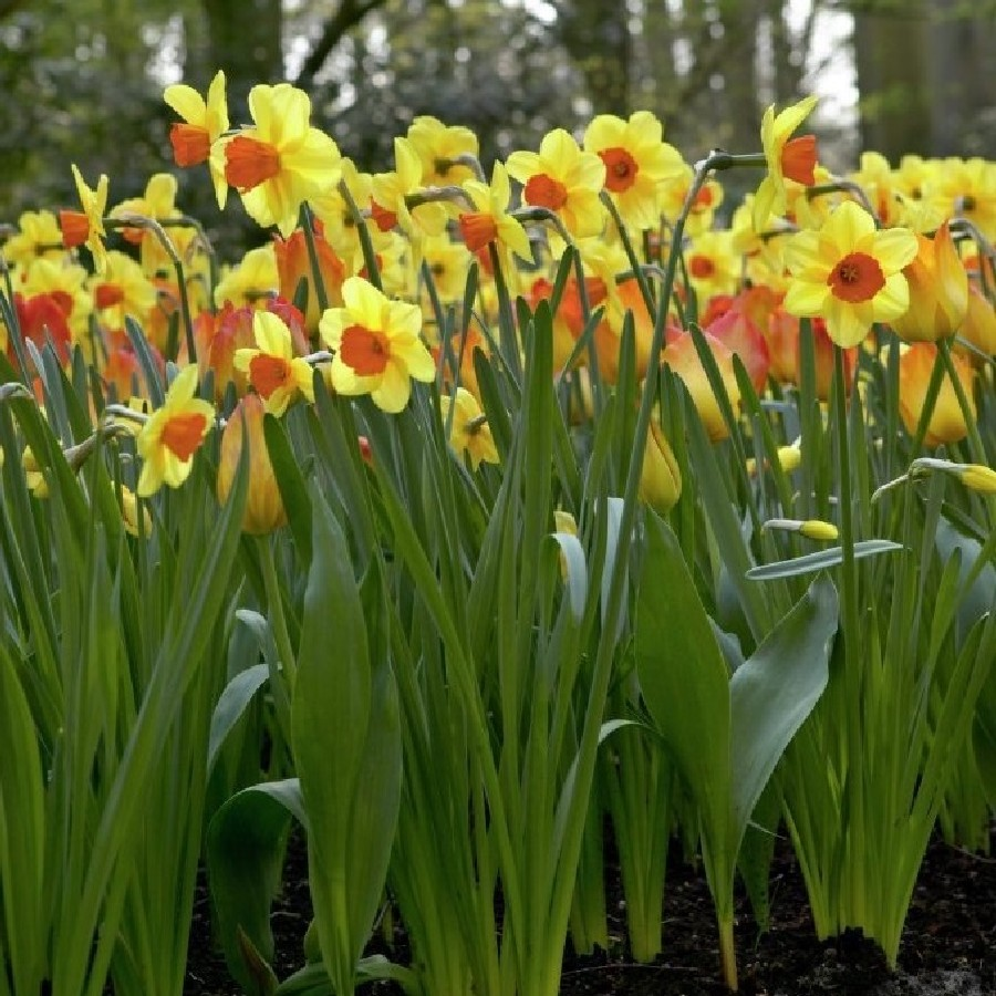When how to plant daffodil bulbs - When How To Plant Daffodil Bulbs 46