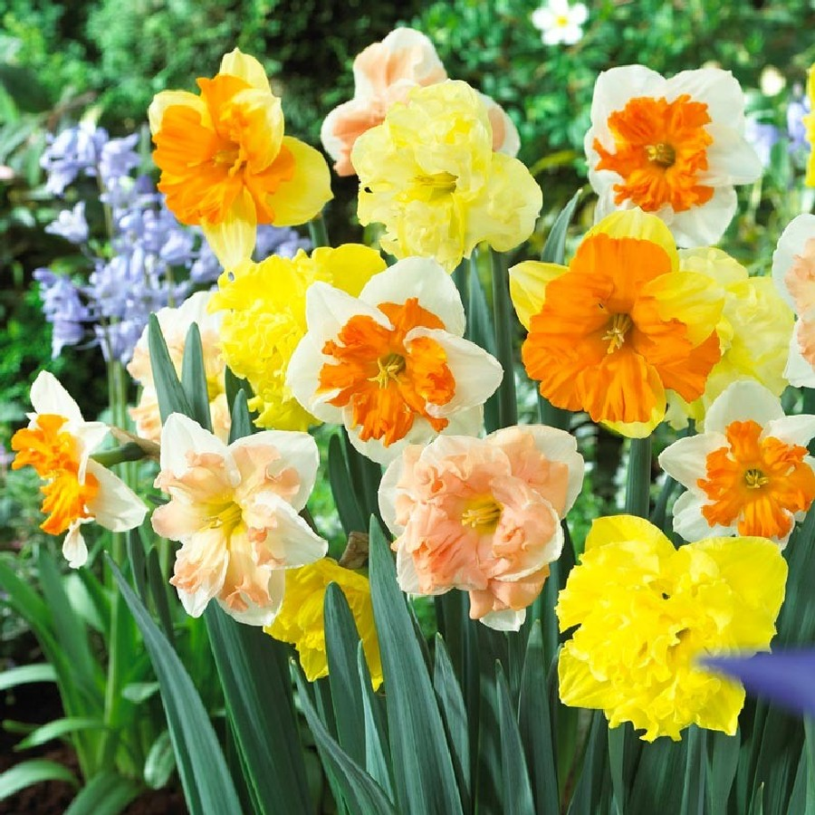 Daffodil Bulbs - Butterfly Mix