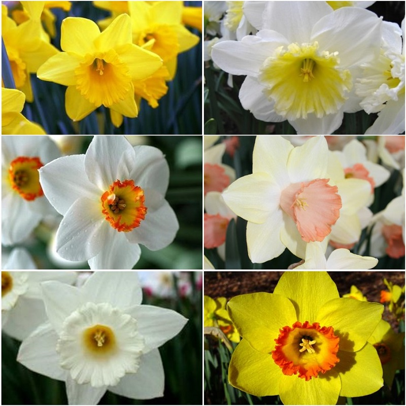 Daffodil Bulbs - Jumbo Mix