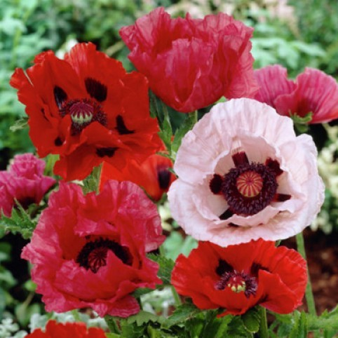 Papaver orientale Roots (Fall-Planted) - Mix