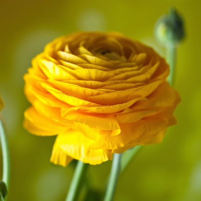 Tecolote Ranunculus Bulbs (Spring-Planted) - Gold