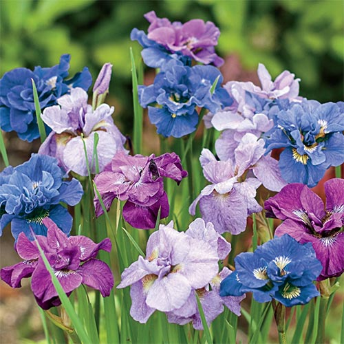 Siberian Iris Roots (Fall-Planted) - Double Flowered Mix