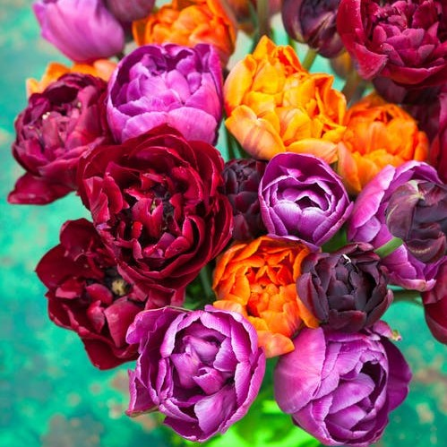 Tulip Bulbs - Passion Mix