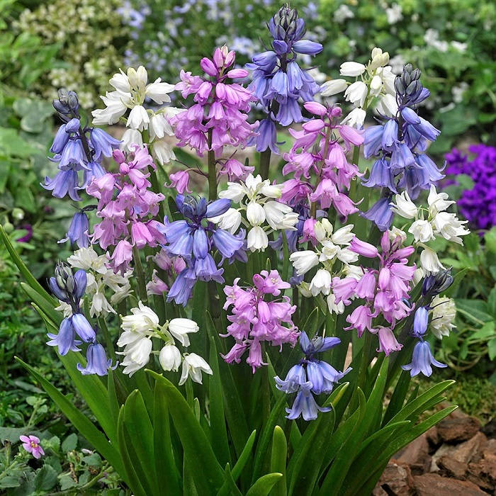 Hyacinth Bulbs - Wood Hyacinth Mix