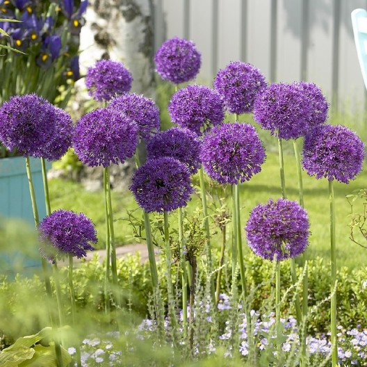 tall allium bulbs purple sensation buy in bulk at. Black Bedroom Furniture Sets. Home Design Ideas