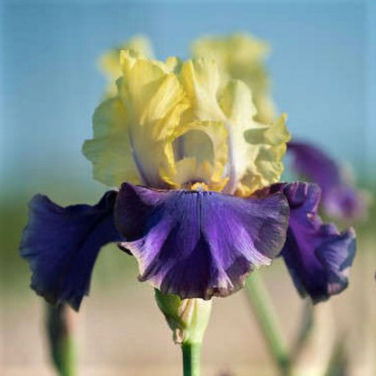 Bright Yellow Tall Bearded Iris Rhizome • Pre-Sale • Perennial Plant Bulb