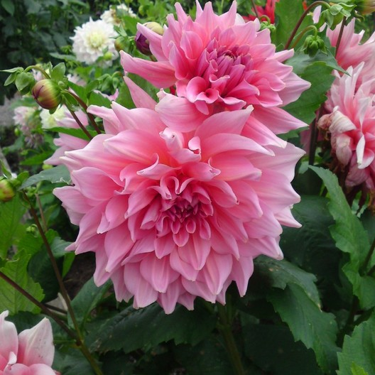 Dahlia Bulbs Dinnerplate Quot Otto S Thrill Quot