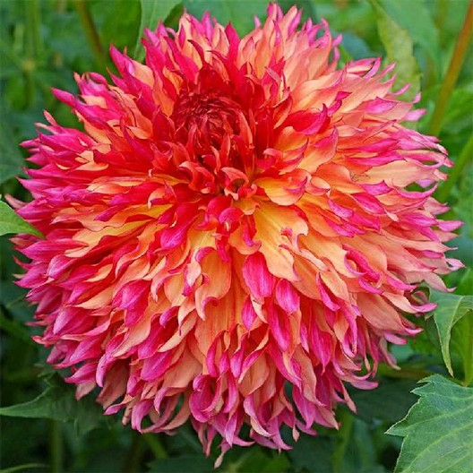 Dahlia Tubers (Dinnerplate) - Myrtle\u0027s Folly SHIPPING NOW! & Dahlia Bulbs (Dinnerplate) - Myrtle\u0027s Folly