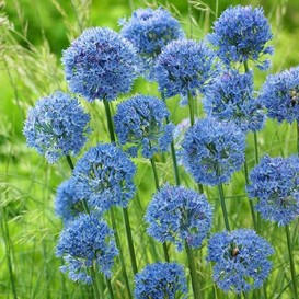 Allium Bulbs (Small) - Blue Caeruleum