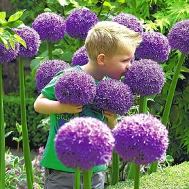 Allium Bulbs (Giant) - Gladiator