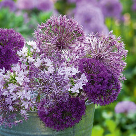 Allium Bulbs - Graceful Mix