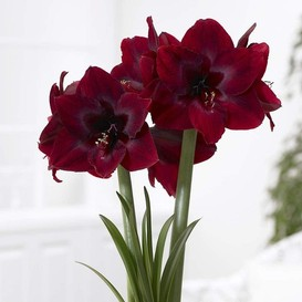 Amaryllis Bulbs - Royal Velvet
