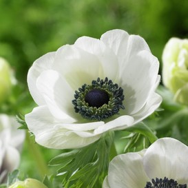 Anemone De Caen Bulbs (Fall-Planted) - Blue & White Mix