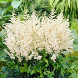 Astilbe Roots - Diamant