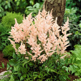 Astilbe Roots - Peach Blossom