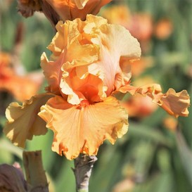 Re-Blooming Bearded Iris - Cordoba - Bag of 2